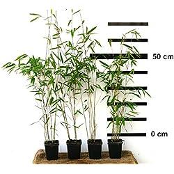4 Pflanzen Roter-Bambus Fargesia jiuzhaigou winterhart und schnell-wachsend 40-50 cm hoch