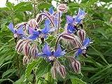 10 graines semences bourrache bleu et blanche fleurs étoile comestibles attire papillons +abeilles