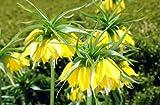 """Kaiserkrone""""Lutea"""" / Fritillaria imperialis""""Lutea"""" - Jumbo Blumenzwiebel"""