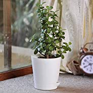 Ugaoo Good Luck Jade Plant with Self Watering Pot