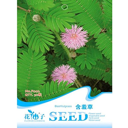 bazaar-30pcs-herbe-sensible-mobile-rose-hostilis-mimosas-graines-de-plantes-pudica