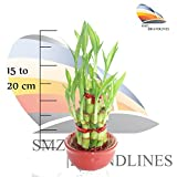 SMZ Brandlines - 2 Layer Top Quality Lucky Bamboo Indoor Plant For Feng Shui (Total About 20 Stalks)