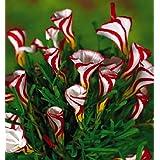 Oxalis Flores Color de los bulbos rotatorio bulbos de Oxalis flores raras del mundo para el jardín de la plantación de flores