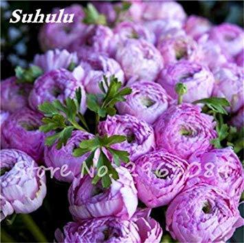 Vente 10 pièces / sac rares Couleur Pivoine Graines Heirloom Sorbet robuste Graines Pivoine Bonsai Pot de fleurs pivoine Graines de fleurs Jardin Plante 5