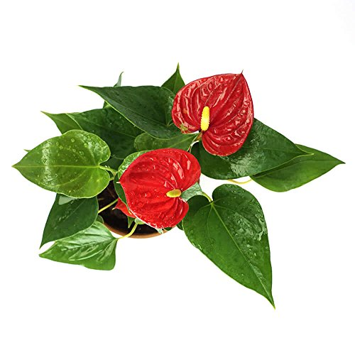 UGAOO Exotic Anthurium Red Plant With Pot