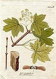 Acer campestris - Der Feldahorn (aus: Icones Plantarum, Tafel Nr. 225).