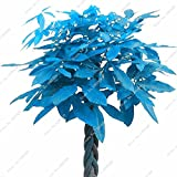 Empfehlen Blau Pachira Seed, Exotische Pachira Macrocarpa Geld-Baum Pflanze Bonsai Seed Perennial Baum 1 PC / Beutel Purifying Air