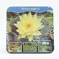 Inter Flower–Encaje Ahora. Paquete de agua Planta Completo, seerosse Amarillo, estanque Plantas