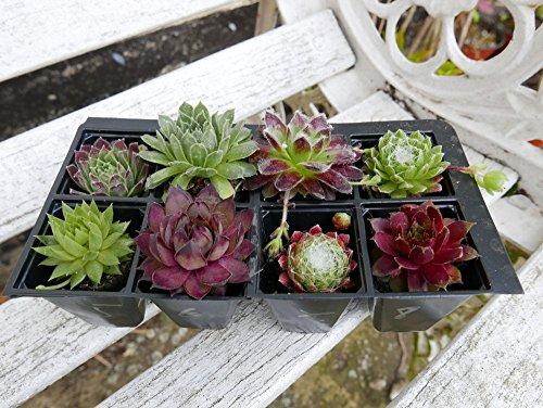 a-collection-of-8-sempervivum-plants-house-leeks-hen-and-chicks