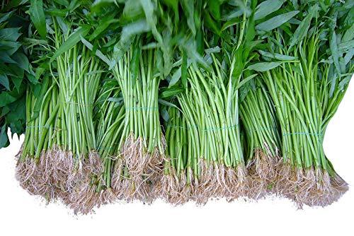 Wasserspinat 50 Samen -Ipomoea aquatica- Morning Glory *Wasserpflanze/Teich/Sumpf und Biotop*