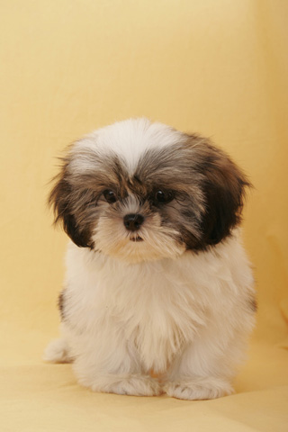 Shih Tzu Dog Live Wallpaper Amazon Co Uk Appstore For Android