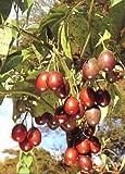 TROPICA albero di pomodori tropicale/Tamarillo (Cyphomandra betacea) - 100 semi