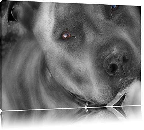 wunderschöner Pit Bull Terrier schwarz/weiß auf Leinwand, XXL riesige Bilder fertig gerahmt mit Keilrahmen, Kunstdruck auf Wandbild mit Rahmen, günstiger als Gemälde oder Ölbild, kein Poster oder Plakat