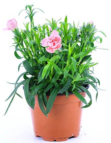 Nelken Pflanze rosa im Topf aus eigener Gärtnerei !