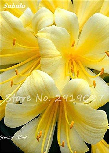 100 Pcs Clivia Graines bon marché Clivia Fleurs Mix Couleurs Bonsai Balcon fleur pour jardin meilleur cadeau pour les enfants So Beautiful 3