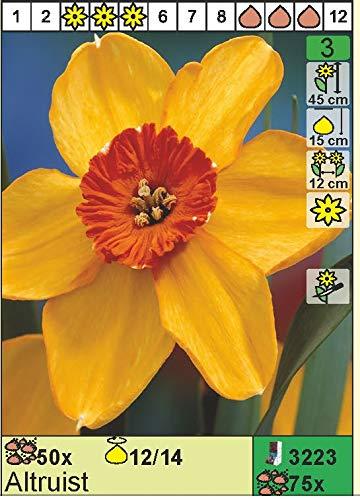 """Narcissus – Narzisse/Osterglocke"""" Altruist"""" (5 Blumenzwiebeln)"""