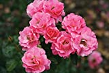 #10: Live Miniature Pink Rose Plant