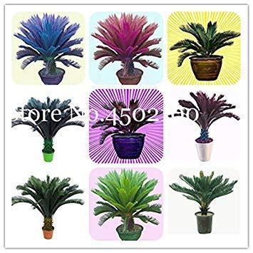5 pz blu cycas bonsai, sago palma plant, cycas albero, rare pianta in vaso per la casa giardino popolare paesaggio pianta facile da coltivare: mix