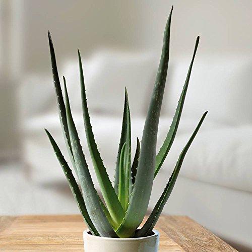 Aloé Véra - 1 plante