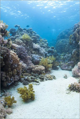 poster-40-x-60-cm-coral-reef-scene-close-to-the-ocean-surface-ras-mohammed-national-park-off-sharm-e