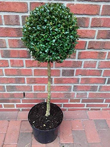 1 Buchsbaum Stamm, Höhe: 100 cm, Bonsai, Buxus Formschnitt + Dünger