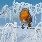 Icy Morn Robin on snowy Branch 10 pack of small square Christmas cards