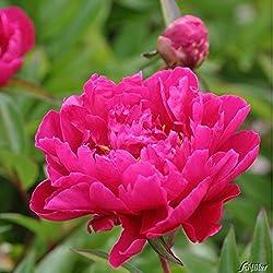 Pfingstrose Karl Rosenfield - Rose stark duftend und winterhart -Paeonia lactiflora- Blüten der Blume dunkel-rot - Pflanze von Garten Schlüter