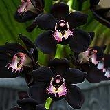 WuWxiuzhzhuo 100seltene Schwarz Cymbidium faberi Orchidee Blume Samen, Home Garten Dekoration 1