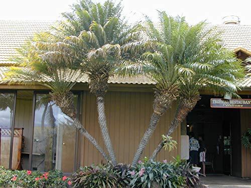Portal Cool 12 Ölsamen - Spektakuläre Zwergpalme - Zwerg-Dattelpalme Samen Semi Garden