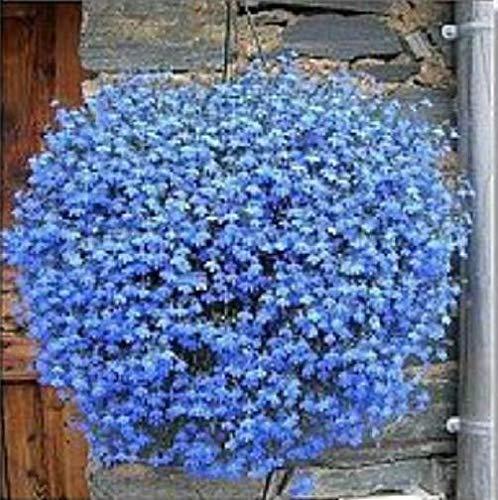 ScoutSeed Lobelia Sky Blue Cascade 200 Seeds Schöne Bodendecker Steingarten -