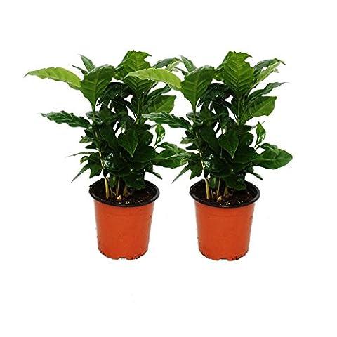 Coffee Plant (Coffea Arabica) 2 Plants