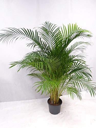 "[Palmenlager] XXL Goldfruchtpalme -\""Areca Palme\"" 220 cm - Topf 31 cm Ø/riesige Palme/Zimmerpalme Zimmerpalme"