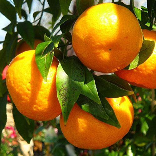 Mandarino - Maceta 22cm. - Altura aprox. 1'10m. - Planta viva - (Envíos sólo a Península)