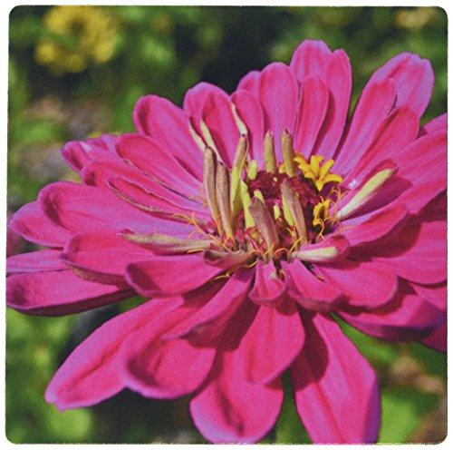 3drose LLC 20,3x 20,3x 0,6cm Maus Pad, deep pink zinnia- Makro-Blumen Fotografie (MP _ 36300Zeitungsständer _ 1)