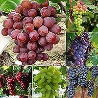 Visa Store 2018 Vente chaude mixte 6 variedades de pepitas de pasas, 15 granos, Vinifera Delicious Fresh Fruit TS248T