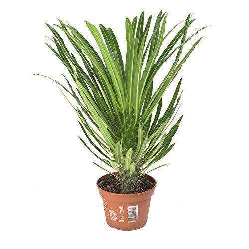 Madagaskarpalme 45 cm +/- Pachypodium lamerei Zimmerpflanze, Topfpflanze