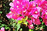 #2: Live Pink Bougainvillea Plant In Pot