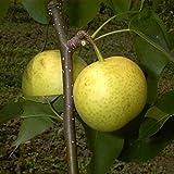 Birnenbaum Nashi-Birne Hakko LH 80 - 100 cm, Birnen grün-gelb, Säulenobst, stark wachsend, im Topf, Obstbaum winterhart, Pyrus Pyrifolia