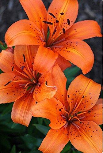 100 PCS couleurs Lily Graines, lys parfum bon marché Graines, Couleur Rare Flower Garden - plantes de mélange différentes variétés 10