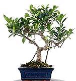 Bonsai - Ficus microcarpa (retusa), Chinesische Feige 196/05