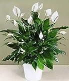 QHYDZ Garden-50pcs Raras Espatifilo Semillas Flores Ornamental para Interior, Perenne Lirio de la Paz Bonsai con Hojas Grandes
