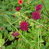 lichtnelke - Mazedoniasche Witwenblume (Knautia macedonica) Tb9