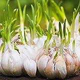 Adolenb Jardin- 50pcs de graines d'ail Légumes du jardin Gaint Garlic Seeds Légumes biologiques Géant Ail Hardy Vivace Ail Oignon