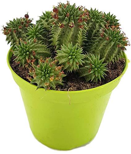 Fangblatt - Euphorbia susannae - seltene Euphorbie aus Südafrika - reizvolle sukkulente Zimmerpflanze