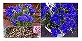 35 blu fiordaliso di Centaurea Cianus pianta da giardino semi DIAdem #151