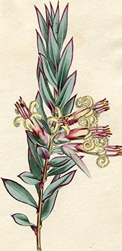 Styphelia Triflora - Cluster-Flowered Styphelia. Altkolorierter Kupferstich (Aus: Curtis' Botanical Magazine, No. 1297).