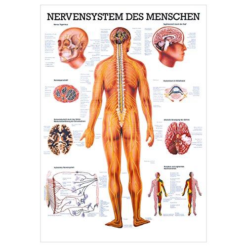 Nervensystem Poster Anatomie 70x50 cm medizinische Lehrmittel