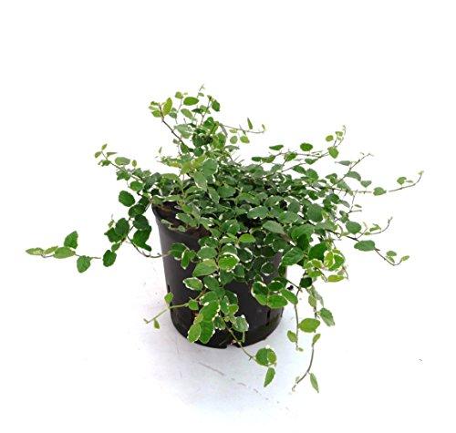 Kletter-Feige, Ficus pumila Sunny, Zimmerpflanze in Hydrokultur, 13/12er Kulturtopf, 18 - 22 cm