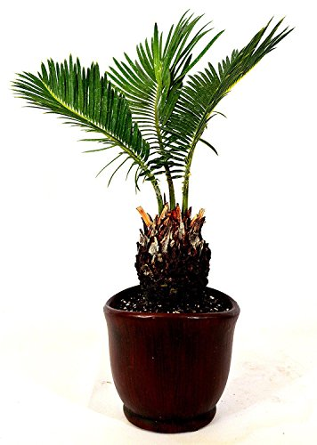 Indoor-sago Palm (Generic Palmfarn - 4.5
