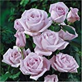 Blue Moon * Graines * rosier grimpant belles fleurs odorants